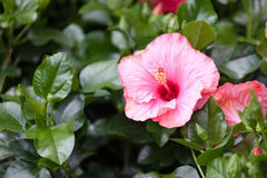 Blossoming hibiscus Royalty Free Stock Photography