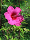 Blossoming of a hibiscus Stock Photos