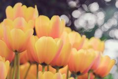 Blossoming Hitparade tulips, selective focus, spring postcard background concept. Toned Royalty Free Stock Photo