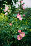 The blossoming hollyhock on the Ukrainian meadow Royalty Free Stock Photos