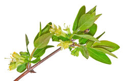 Blossoming honeysuckle Stock Image