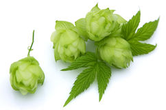 Blossoming hop Stock Photos