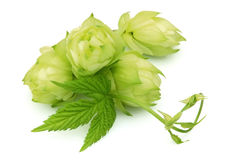Blossoming hop Royalty Free Stock Photos