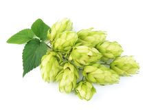 Blossoming hop Royalty Free Stock Photo