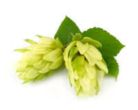 Blossoming hop with leaves Stock Images