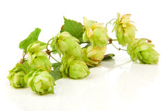 Blossoming hop with leaves Royalty Free Stock Photography
