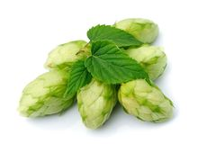 Blossoming hop Royalty Free Stock Photography