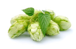 Blossoming hop. With leaves on a white background stock image