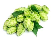 Blossoming hop. Blossoming hop with leaves on a white background Royalty Free Stock Photo