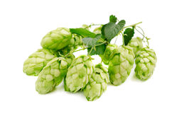 Blossoming hop Stock Photography