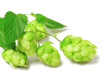 Blossoming hop on white Stock Photo