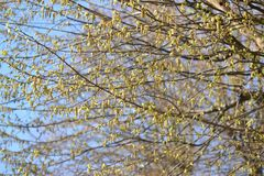 The blossoming hornbeam ordinary Carpinus betulus L royalty free stock image