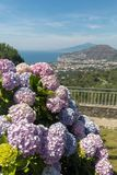 Blossoming hydrangea with the Gulf of Naples and Vesuvius in the background.  royalty free stock photo