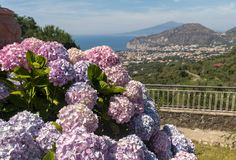 Blossoming hydrangea with the Gulf of Naples and Vesuvius in the background.  stock image