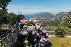 Blossoming hydrangea with the Gulf of Naples and Vesuvius in the background. Blossoming hydrangea with the Gulf of Naples and Vesuvius in the background stock photography