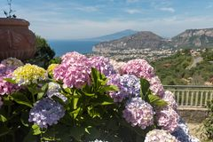 Blossoming hydrangea with the Gulf of Naples and Vesuvius in the background.  Stock Photography