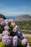 Blossoming hydrangea with the Gulf of Naples and Vesuvius in the background. Blossoming hydrangea with the Gulf of Naples and Vesuvius in the background stock image