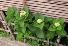 Hydrangea is blossoming royalty free stock images