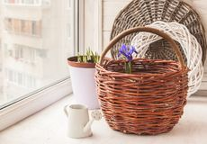 Blossoming  Iridodictyum  in baskets and watering can Royalty Free Stock Photos