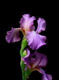 Blossoming iris on a black background. Stock Images