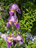 Blossoming iris (Iris L. ) grows in a garden Stock Images