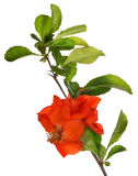 Blossoming isolated pomegranate branch Stock Photos