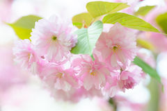 Blossoming Japanese cherry tree Royalty Free Stock Photos