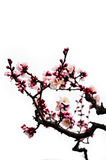 Blossoming Japanese plum flowers isolated on white background Royalty Free Stock Image