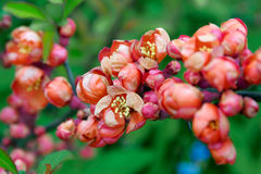 Blossoming japanese quince Royalty Free Stock Photos