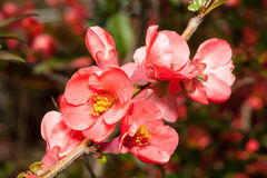 Blossoming Japanese quince  (Chaenomeles) Royalty Free Stock Photos