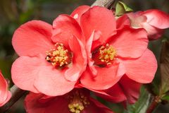 Blossoming Japanese quince  (Chaenomeles) Royalty Free Stock Images