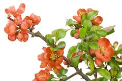 Blossoming Japanese quince (Chaenomeles) macro Royalty Free Stock Photography