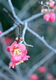 Blossoming Japanese Quince Royalty Free Stock Images