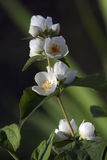 Blossoming  jasmin. Blossoming branch of a jasmin Royalty Free Stock Photography