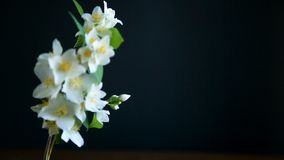 Blossoming jasmine flowers. On a black background
