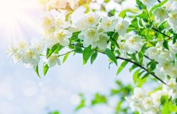 Blooming tree of jasmine royalty free stock images