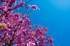 Blossoming judas tree branches with pink flowers and blue sky in spring Stock Photo