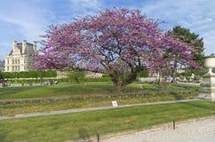 Blossoming Judas tree. Stock Image