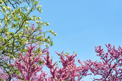 Blossoming Judas tree and white flowers on blue sky Stock Images