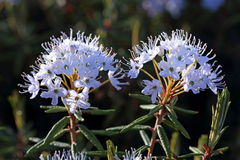 The blossoming Labrador tea Stock Photo