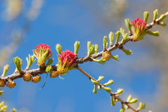 Blossoming larch Royalty Free Stock Photography