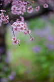 Blossoming large cherry trees Royalty Free Stock Photos