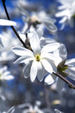 Blossoming large flowers white magnolias Royalty Free Stock Photos