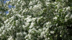 Blossoming large fruit tree. Blossoming with white flowers a large fruit tree in the spring botanical garden stock video footage