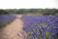 Blossoming lavander цветет на поле, более близком взгляде стоковое фото rf