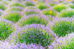 Blossoming of lavander flowers Royalty Free Stock Photos