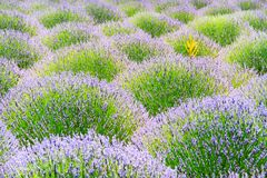 Blossoming of lavander flowers Stock Photos