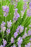 Blossoming lavender Stock Photos
