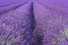 Natural floral lavender background, ultra violet concept - color of the year 2018. Blossoming lavender field natural floral seasonal background, ultra violet stock photos