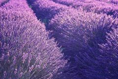 Natural floral lavender background, ultra violet concept - color of the year 2018. Blossoming lavender field natural floral seasonal background, ultra violet royalty free stock photography